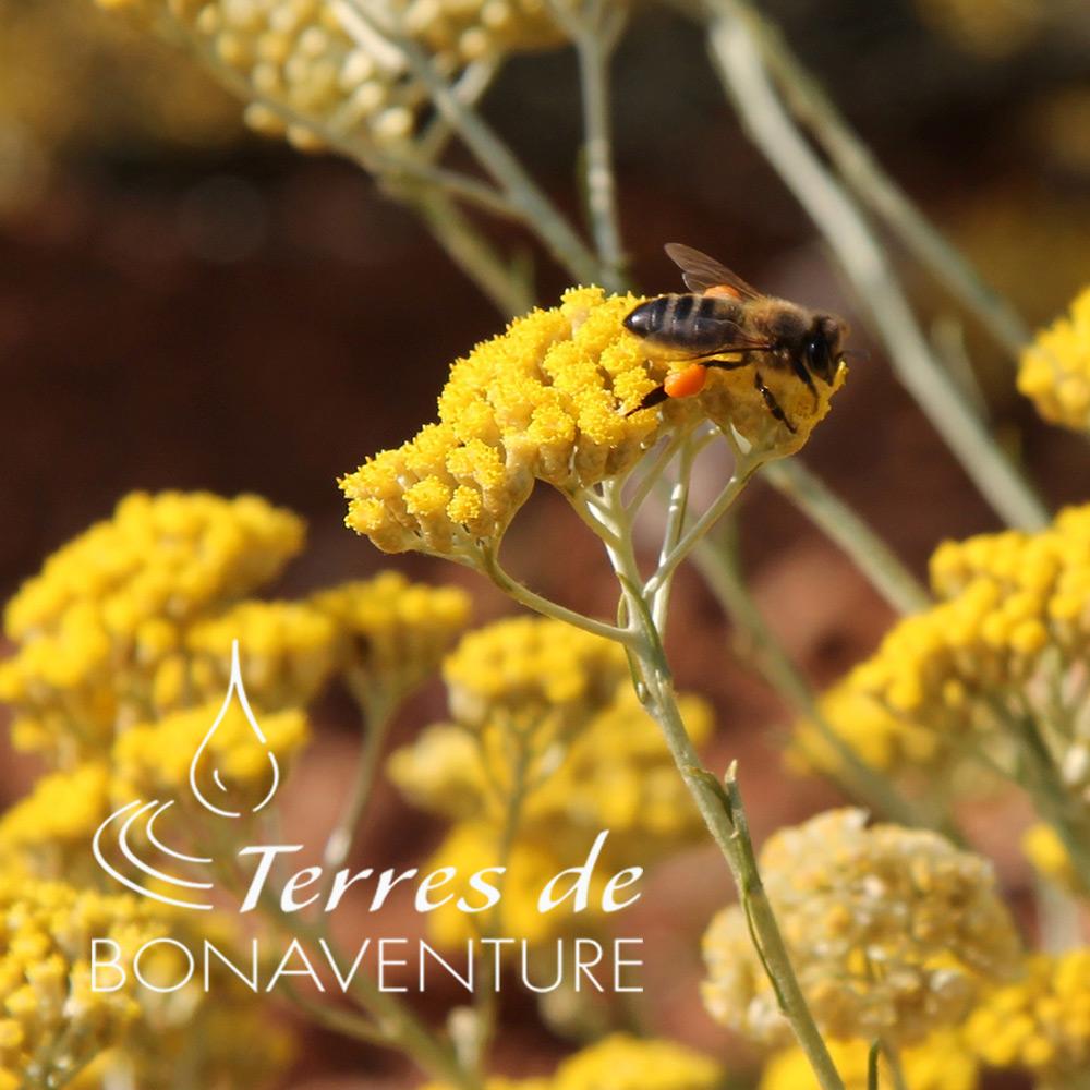 abeille-immortelle-terres-de-bonaventure