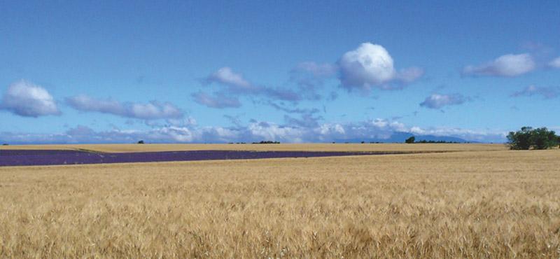 champs de ble sue le plateau de valensole