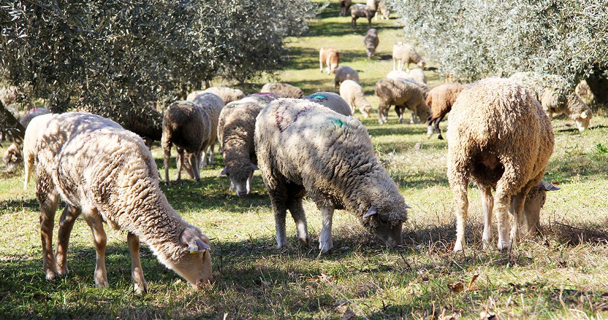 Brebis dans notre champs d'oliviers