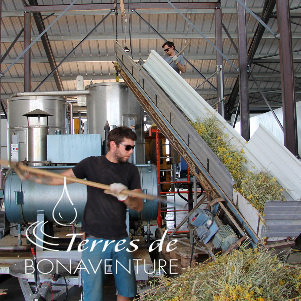 distillation de huile essentielle helichrysum italicum italicum bio