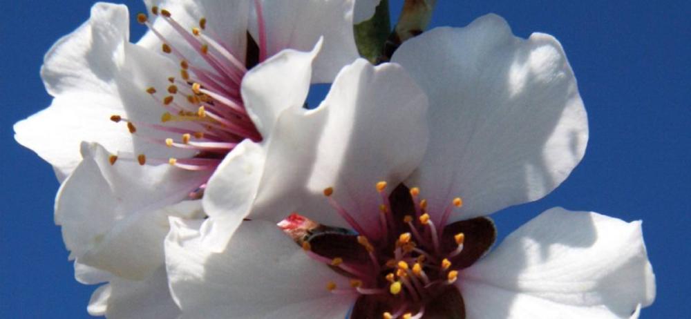fleur d'amandier bio provence