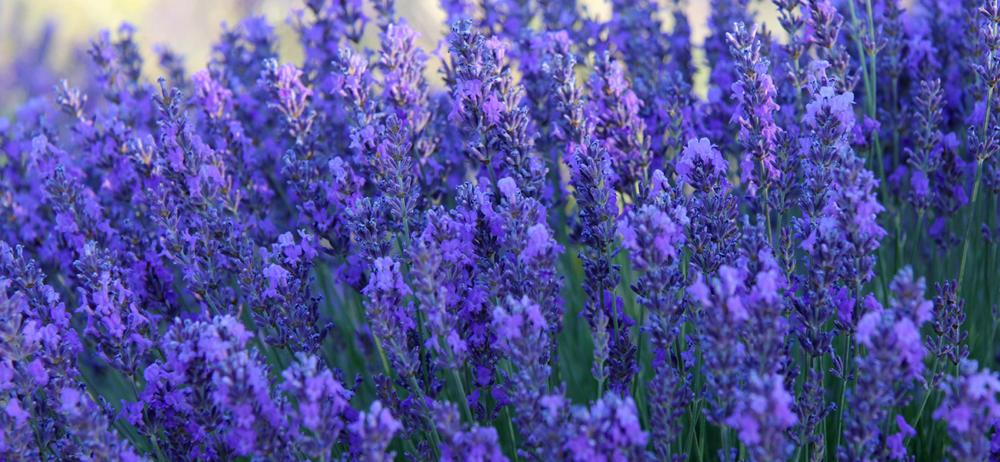 fleurs-de-lavande-bio