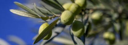Huile d'olive aop bio Valensole en Provence