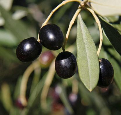 Huile d'olive goût à l'ancienne