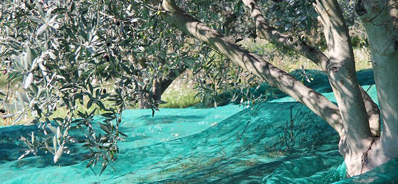La récolte d'olive à Valensole