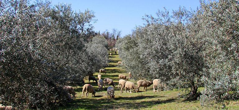 Le pâturage dans l'oliveraie