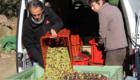 recolte-d-olives-e-a-valensole