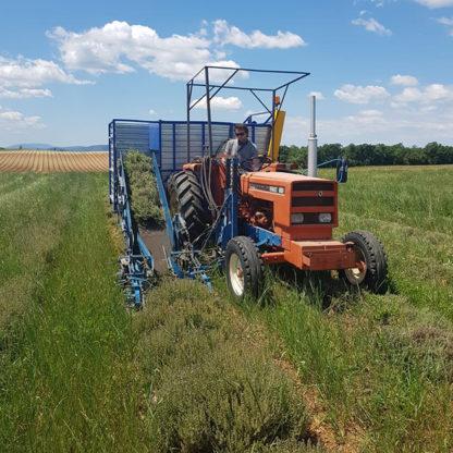 Récolte de thym thujanol bio Provence Valensole