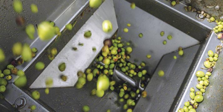 Recolte des olives