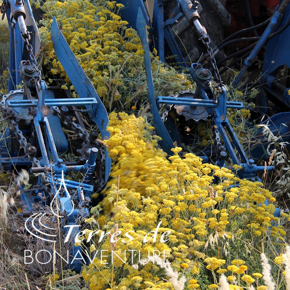 recolte-helichrysum