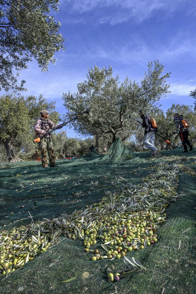 Récolte des olives à Manosque - Mont d'Or