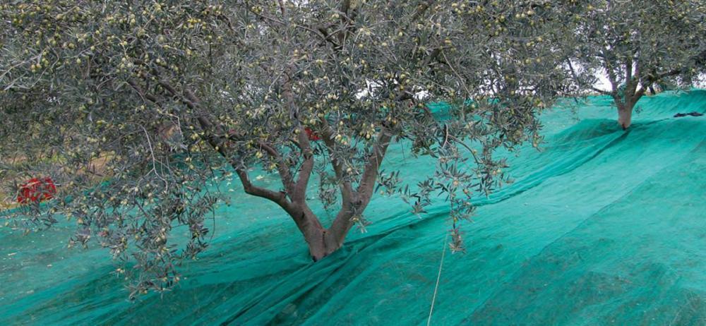 recolte-olives-bio-valensole
