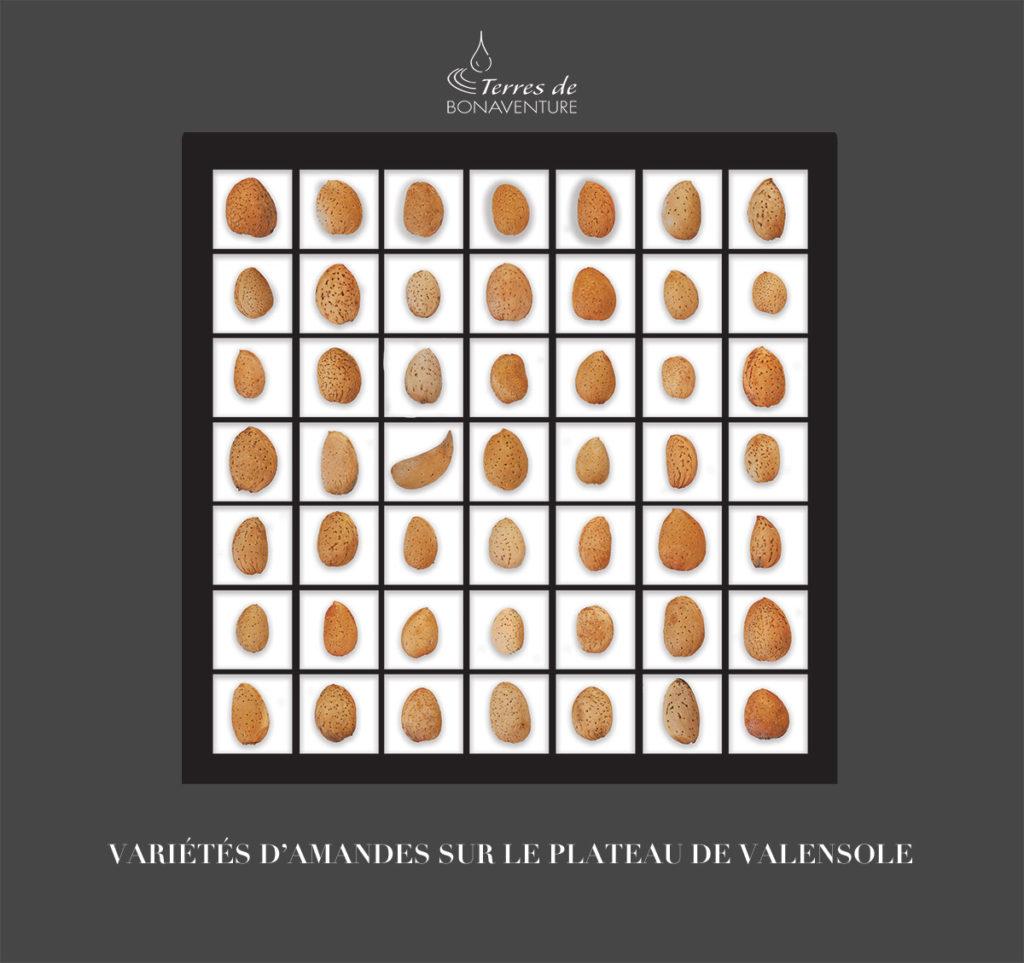 variétés d'amandes sur le plateau de Valensole